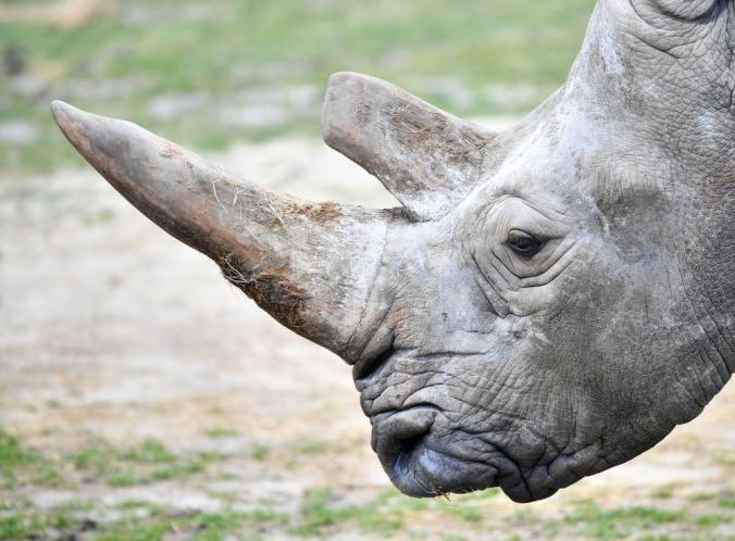 Rhino shot dead by poachers at Thoiry Zoo